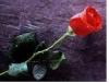 rosa roja.png